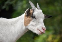 Goats can read your face, study