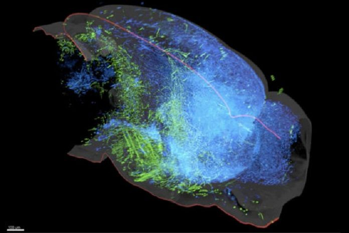 A 3D rendering of the serotonin system in the left hemisphere of the mouse brain reveals two groups of serotonin neurons in the dorsal raphe that project to either cortical regions (blue) or subcortical regions (green) while rarely crossing into the other's domain
