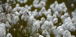 Early sowing can increase cotton yield: study