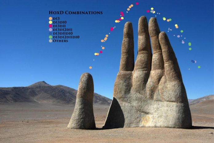 """Growing hand with HoxD combinatorial code. The image below is an overlay of the large-scale hand sculpture with Hox genes combinatorial code distribution along a diffusion map, illustrating genetic diversity in the growing limb. Each dot being one cell, the colors represent the single-cell combinatorial Hoxd code that match with different degree of differentiation, a recent concept also described as pseudo-temporal ordering of single-cells. The graphic highlights the switch between cellular temporal states involved in a regulatory network. The cells with only one gene are in a more premature state while the one expressing a higher set of these genes being at the end of their maturation. Credit: Sculpture and """"del desierto"""" from Chilean sculptor Mario Irrarazabal in Atacama Desert. Graphical representation of pseudotime by P. Fabre and Q. Lo Giudice, University of Geneva."""