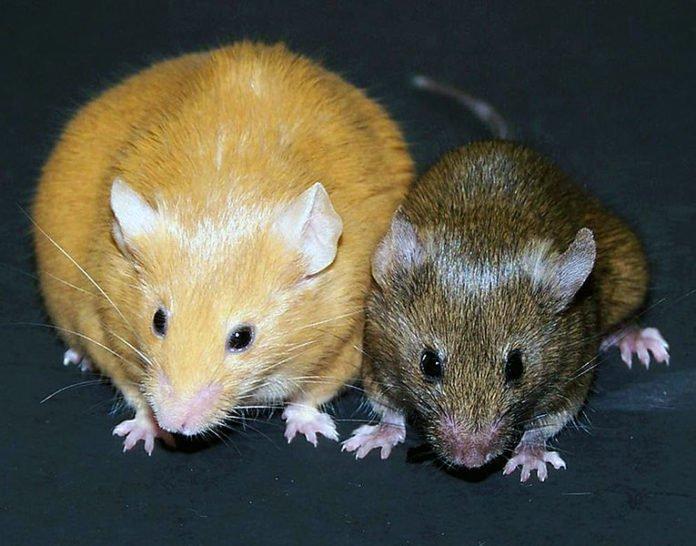 Agouti mice. Credit: Randy Jirtle and Dana Dolinoy
