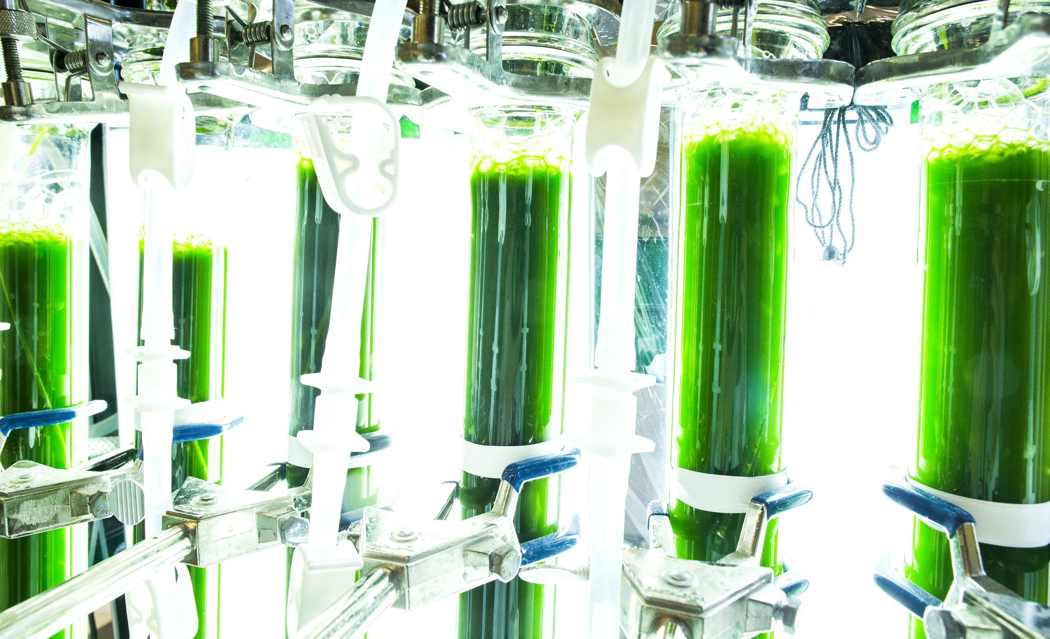 Live microalgae that can be used in the manufacturing of biodiesel fuel. Image credit: Joseph Xu, Michigan Engineering