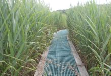 Invasive Phragmites reeds encroach on a boardwalk in a Maryland marsh. On this marsh, biologists with the Smithsonian Environmental Research Center have been running climate change experiments for more than 30 years. CREDIT Gary Peresta/Smithsonian Environmental Research Center