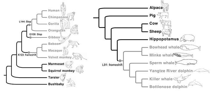 Examples of ancV1R loss events in higher primates (left) and cetaceans (right). The gray branches indicate the lineages in which ancV1R has been lost and the vomeronasal organ is absent. The timing of the mutations causing loss of ancV1R is shown above or below the gray circles.
