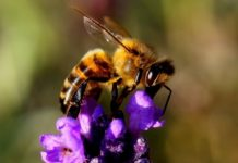 Big bees fly better in hotter temps than smaller ones do