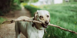 Dog intelligence 'not exceptional'