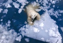 Animals in the western Arctic have higher levels of mercury in their bodies than those in the eastern Arctic. Credit: Shutterstock