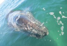An eastern gray whale, pictured off the coast of Mexico, and its cousins to the west have similar levels of genetic diversity, though they have genetically diverged into two distinct subgroups, according to a Purdue University study. A genetic analysis of the whales suggests there are enough genetic resources between the populations to offer hope for the critically endangered populations to the west. (Photo credit: Anna Brüniche-Olsen)
