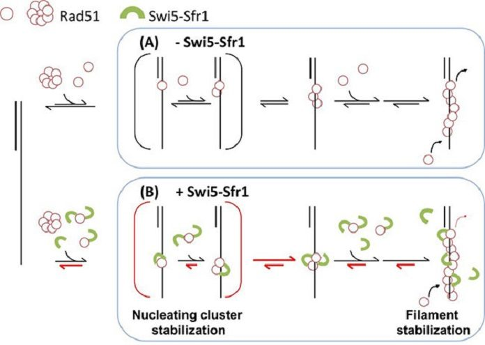 A molecular model for regulating Rad51 nucleoprotein filament formation by the Swi5-Sfr1 complex. Swi5–Sfr1 stabilizes Rad51 on ssDNA primarily by preventing its dissociation. This stabilization effect leads to a stable nucleating cluster formation and a reduction in filament disassembly. Red half-arrows indicate the kinetic steps affected by SSwi5–Sfr1.