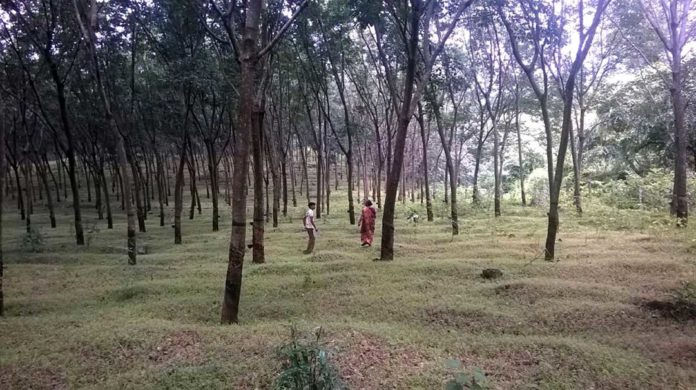 A full-grown rubber plantation Source: S. Suresh Ramanan