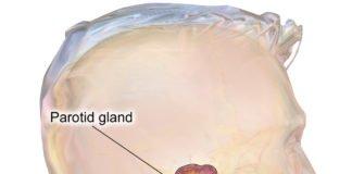 Researchers create a functional salivary gland organoid