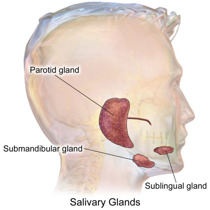 Researchers create a functional salivary gland organoid