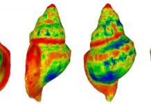 A heat-map demonstrating where differences are most likely to occur in shell shape among gastropods exposed to raised CO2 levels (with red indicating a greater degree of change) CREDIT Ben Harvey