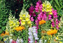 Scientists identified genes responsible for difference in flower color of snapdragons
