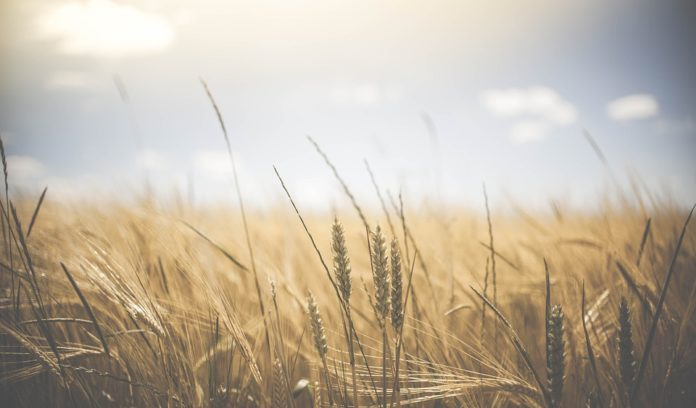 Scientists find genomic regions that decide zinc density in wheat