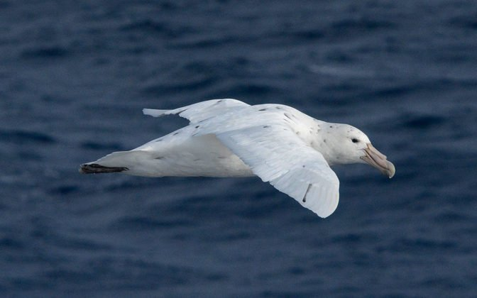 Southern Giant Petrel ©Eric Woehler