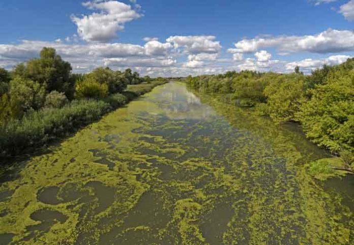 Cyanobacteria in a river