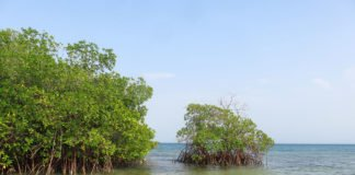 Mangroves like this could have a significant role in the future by mitigating the carbon emissions of certain nations. Photo credit: Pierre Taillardat