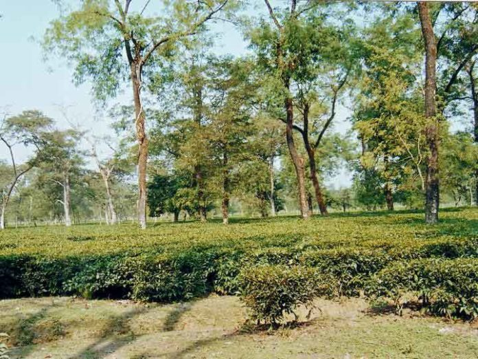 Some tea plantations have been fertilized for over 100 years. This can affect how those soils hold phosphorus. CREDIT Abhijit Debnath