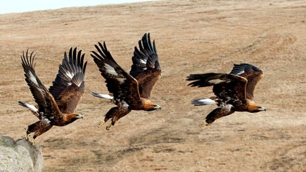 The golden eagle has already had its genome sequenced as part of an effort to conserve this elusive bird of prey