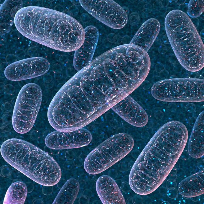 Mitochondria are tiny, free-floating organelles inside cells. Image: Northwestern University