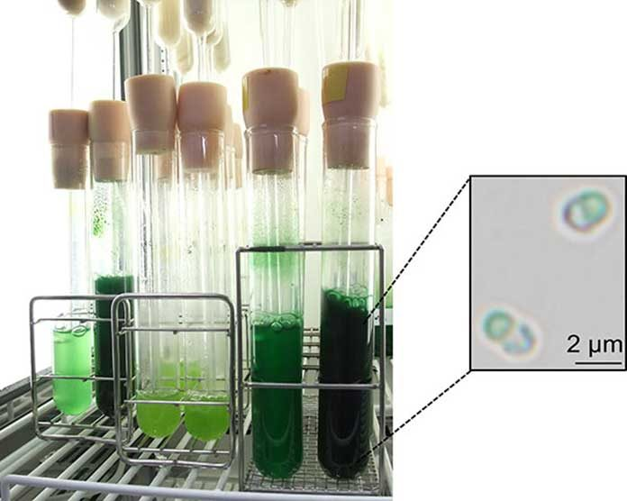 Cultivation of the unicellular red alga C. merolae in the laboratory