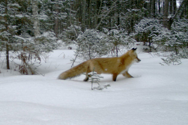 A red fox on Stockton Island, Wisconsin, in 2015 Photo courtesy Max Allen/Erik Olson/Tim Van Deelen