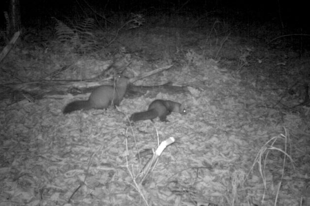 A pair of American martens on Stockton Island, Wisconsin, in 2014. Photo courtesy Max Allen/Erik Olson/Tim Van Deelen
