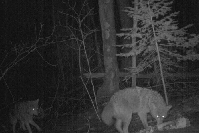 Coyotes on Stockton Island, Wisconsin, in 2015. Photo courtesy Max Allen/Erik Olson/Tim Van Deelen