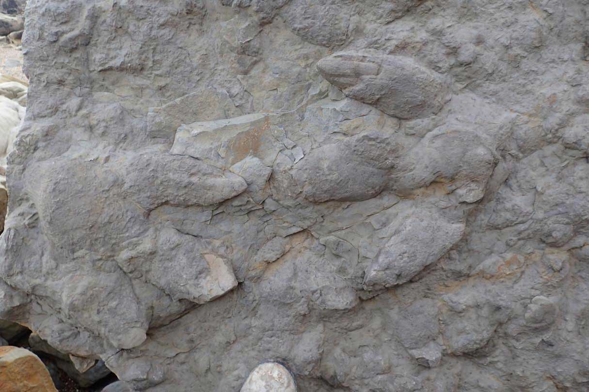 Two large iguanodontian footprints with skin and claw impressions.  CREDIT Neil Davies