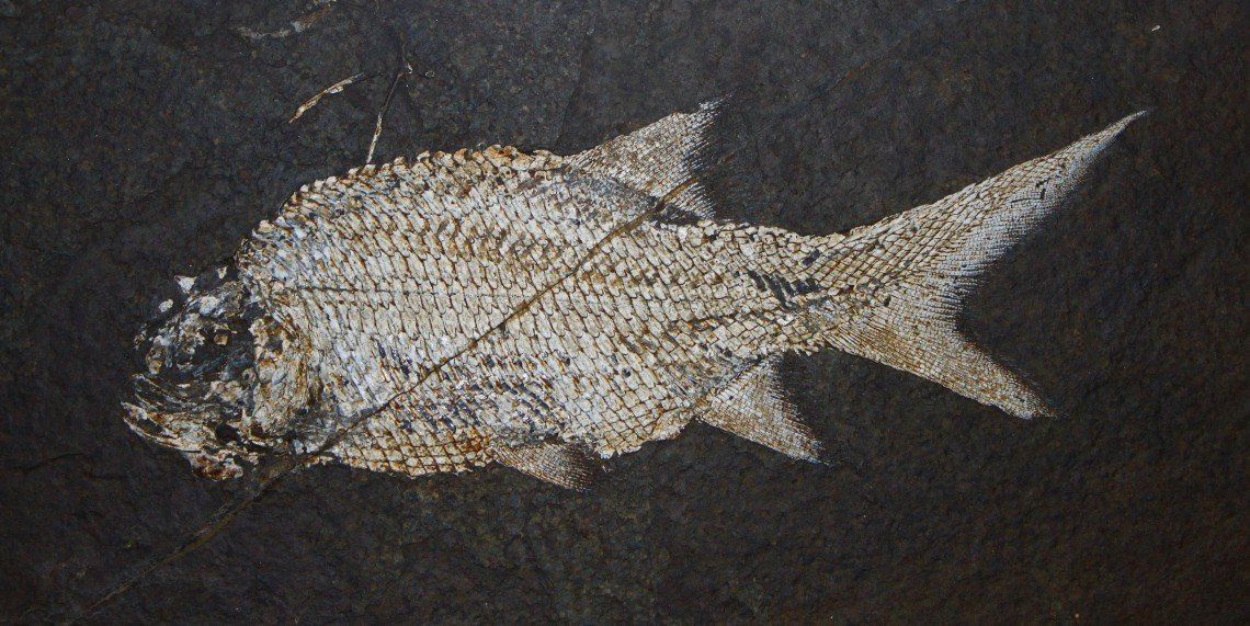 A fossil of a Paramblypterus, a species of fish that went extinct during the Permian. This fossil is on display at the State Museum of Natural History in Karlsruhe, Germany.H. Zell/Wikimedia