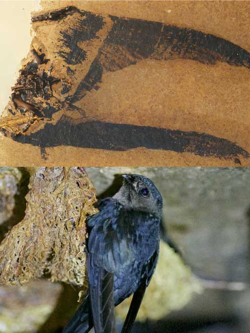 Scaniacypselus fossil (above) compared with its modern day equivalent, the Plume-toed Swiftlet Fossil: Jakob Vinther and Fiann Smithwick. Photograph: Daniel Field