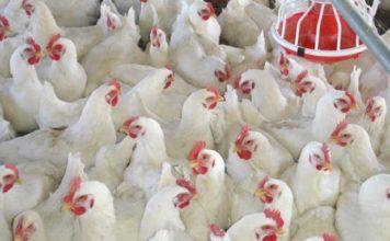 Broiler chicken is the hallmark of the Anthropocene, study