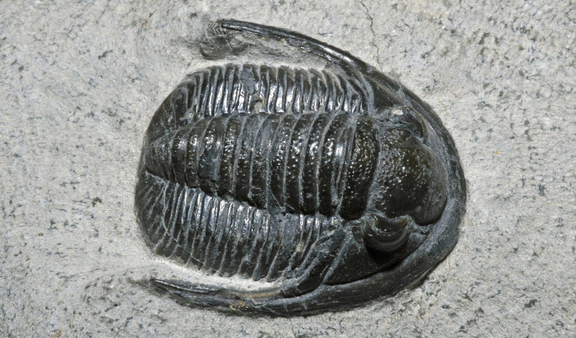 A fossil from Morocco of a Diademaproetus, one of the trilobites that were plentiful in the world's oceans but went extinct at the end of the Permian.Géry Parent/Flickr