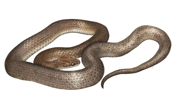 """An artist's rendering of the new species, Cenaspis aenigma, which translates to """"mysterious dinner snake."""" ILLUSTRATION BY GABRIEL UGUETO"""