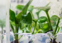 Researchers at the University of Washington have genetically modified a common houseplant — pothos ivy — to remove chloroform and benzene from the air around it.Mark Stone/University of Washington