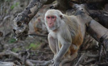 A University of Washington-led study found that social status in rhesus macaques affected how the animals responded to stress.Noah Snyder-Mackler/U. of Washington