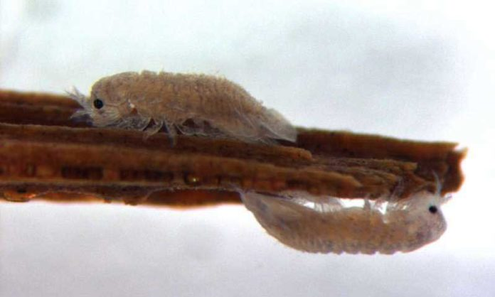 Gribble on a piece of wood. Credit: Claire Steele-King and Katrin Besser, University of York