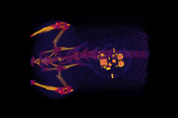 This CT scan of a rat shows a small device implanted around the bladder. The device — developed by scientists at Washington University School of Medicine, the University of Illinois and Northwestern University — uses light signals from tiny LEDs to activate nerve cells in the bladder and control problems such as incontinence and overactive bladder. (Image: Gereau lab)