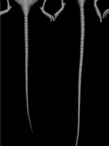 X-rays of control (left) and FoxD1-LIN28B-induced animal (right, longer trail) mice Credit: Robinton et al. - Developmental Cell