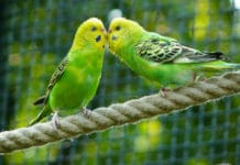 Female Budgerigars prefer males with stronger cognitive abilities