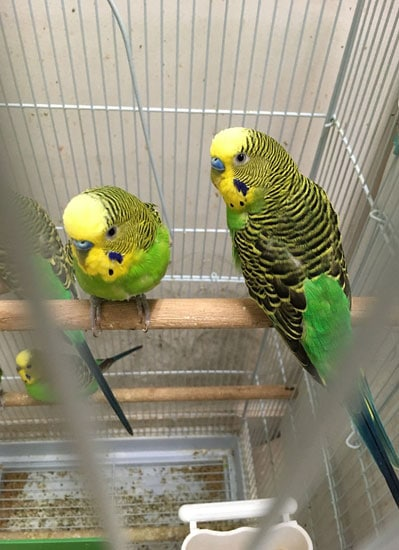 The budgerigars in the lab. (Image by IOZ)