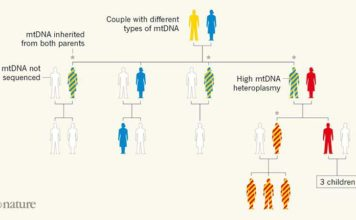 Family tree revealing paternal inheritance of mitochondrial DNA (mtDNA). Luo et al.2 sequenced the mtDNA of several members of a family in which many individuals had a high level of mtDNA heteroplasmy (the presence of distinct genetic variants in the same cell). This mtDNA variability is denoted by two colours in the same silhouette of an individual. The analysis showed that some of the individuals with heteroplasmy had inherited mtDNA from both of their parents, breaking the usual pattern of exclusive maternal inheritance of mtDNA. Luo et al. suggest that the ability to inherit paternal mtDNA is a genetic trait.