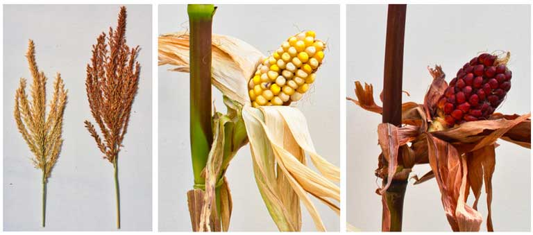 "Researchers believe the mystery gene that triggers the mutant red pigments in corn may be a ""master regulator"" responsible for an over-accumulation of sugars in the leaves and an increase in a natural insecticide in the silk. IMAGE: SURINDER CHOPRA RESEARCH GROUP/PENN STATE"