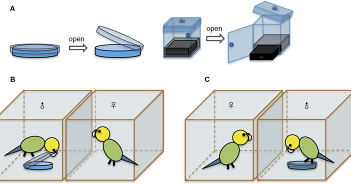 A: roblem-solving devices: the petri dish and the three-step box. B: he female observing a trained male opening the petri dish. C: focal female observing an untrained male trying unsuccessfully to open the dish. (Image by IOZ)