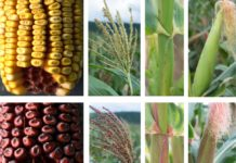 The mystery involved a spontaneous gene mutation that causes red pigments to show up in various corn plant tissues for a few generations and then disappear in subsequent progeny. IMAGE: SURINDER CHOPRA RESEARCH GROUP/PENN STATE
