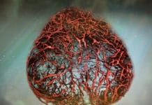 An illustration of vascular organoids, lab-made human blood vessels, based on original data. Credit: IMBA