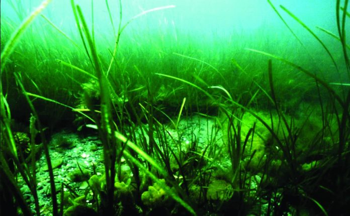 Eelgrass growing on an underwater (subaqueous) soil. Photo credit Jim Turenne. CREDIT Jim Turenne