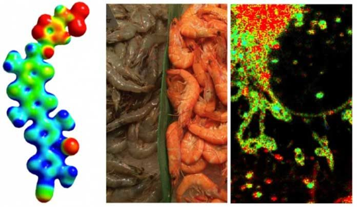 Molecular structure of the chemical tool (on the left), blue: electron-poor, red: electron-rich, that changes color like shrimps during cooking (middle, inspiration from the fishmarket in Barcelona) to reveal physical forces inside of living cells (on the right, here endoplasmic reticulum and nuclear envelope). © UNIGE