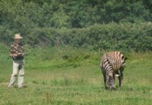 Professor Tim Caro observing zebra behaviour in response to biting fly annoyance School of Biological Sciences, University of Bristol